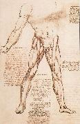 LEONARDO da Vinci, Muscle structure of the thigh